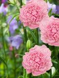 Floresce dálias Fotografia de Stock Royalty Free
