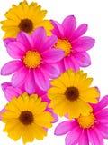 Floresce decorativo Fotos de Stock