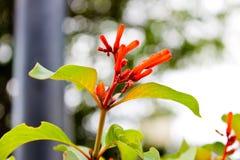 Floresce invicto Foto de Stock