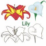 Floresce lírios. contornos das flores em um CCB branco Foto de Stock Royalty Free