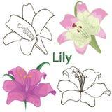 Floresce lírios. contornos das flores em um CCB branco Imagens de Stock