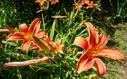 Floresce lírios no jardim fotos de stock royalty free
