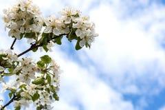Floresce a maçã-árvore foto de stock