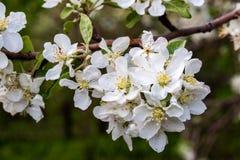 Floresce a maçã-árvore fotos de stock royalty free