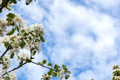 Floresce a maçã-árvore fotografia de stock