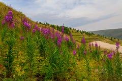 Floresce a magenta da estrada das árvores das montanhas Fotos de Stock