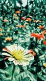 Floresce a margarida Fotografia de Stock