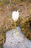 Floresce o açafrão branco Imagem de Stock