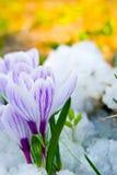 Floresce o açafrão roxo Imagem de Stock Royalty Free