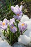 Floresce o açafrão roxo na neve Fotos de Stock