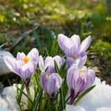 Floresce o açafrão roxo na neve Fotos de Stock Royalty Free