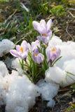 Floresce o açafrão roxo na neve Fotografia de Stock