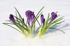 Floresce o açafrão violeta na neve, mola Fotos de Stock Royalty Free