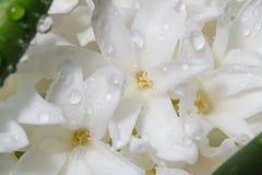 Floresce o branco delicado do jacinto Imagens de Stock
