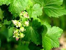 Floresce o corinto com as folhas macro Foto de Stock Royalty Free