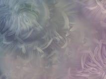 Floresce o crisântemo no fundo branco de intervalo mínimo obscuro Crisântemo azul e cor-de-rosa das flores colagem floral Estuque Imagens de Stock
