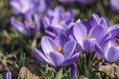 Floresce o prado roxo do açafrão na primavera Fotografia de Stock