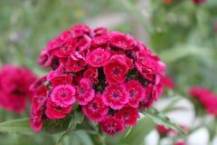 Floresce o rosa vermelho do verde do foco da vila da natureza da inflorescência da planta de jardim do verão Imagem de Stock Royalty Free