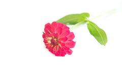 Floresce o zinnia Fotografia de Stock