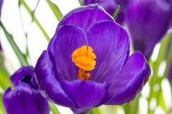 Floresce os açafrões bonitos Foto de Stock Royalty Free
