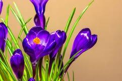 Floresce os açafrões bonitos Imagens de Stock Royalty Free