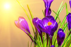 Floresce os açafrões bonitos Fotografia de Stock Royalty Free