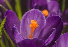 Floresce os açafrões bonitos fotografia de stock
