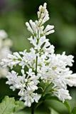 Floresce os funerais brancos Fotografia de Stock Royalty Free