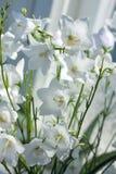 Floresce os sinos brancos - Campanula Fotografia de Stock