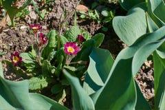 Floresce pansies na primavera no lote Imagem de Stock