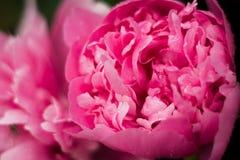 Floresce peonies Imagem de Stock Royalty Free