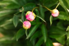 Floresce peonies fotografia de stock