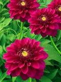 Floresce peonies Foto de Stock Royalty Free