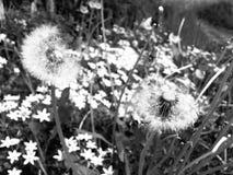 Floresce preto e branco Fotos de Stock Royalty Free