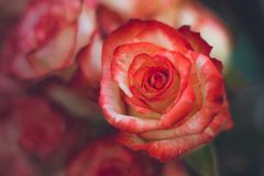 Floresce rosas Foto de Stock Royalty Free