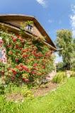Floresce rosas na fachada de uma casa de madeira velha Imagem de Stock Royalty Free