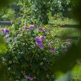 Floresce rosas no canteiro de flores imagem de stock