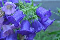 Floresce sinos em gotas de orvalho após a chuva foto de stock