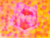 Floresce tulipas do fundo dos órgãos Foto de Stock