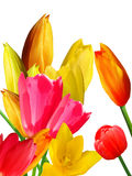 Floresce tulips Fotografia de Stock