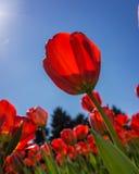 Floresce tulips imagem de stock royalty free
