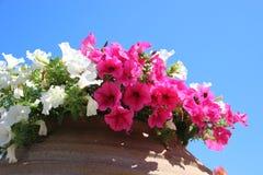 Florescem os pet?nias doces brancos e cor-de-rosa fotografia de stock