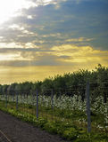 Florescence των δέντρων μηλιάς την άνοιξη Στοκ φωτογραφία με δικαίωμα ελεύθερης χρήσης