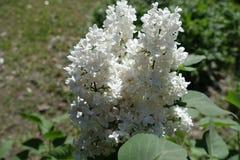 Florescence белого куста сирени весной стоковые изображения