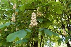 Florescence дерева конского каштана весной стоковое фото rf