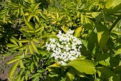 Florescence европейского куста elderberry весной стоковое изображение