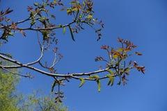 Florescence дерева regia Juglans весной стоковые фотографии rf
