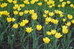 Florescence желтых тюльпанов весной стоковые фото