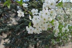 Florescence кислой вишни весной стоковые фотографии rf