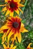 Florescence красного цвета rudbeckia на цветнике стоковое фото